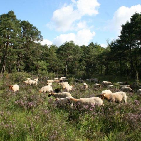 Pâturage moutons POMO